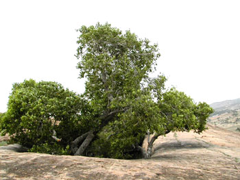 The Naval (jambu) tree near the Navach-chunai